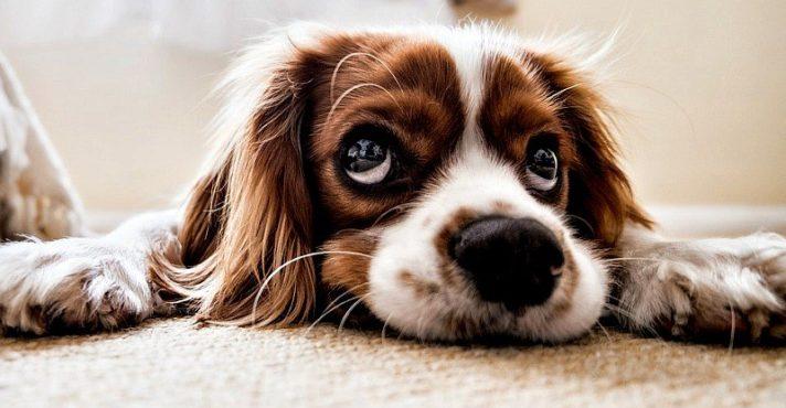 cocker spaniel dog lying on carpet floor